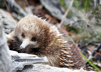 Photograph - Echidna by Nicholas Blackwell