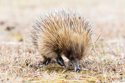 Photograph - Echidna by Pascal Mercay