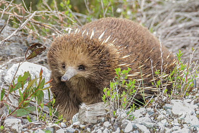 Photograph - Echidna by Werner Padarin