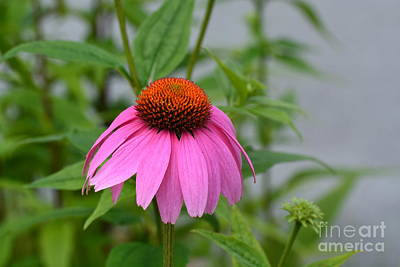 Photograph - Echinacea 16-01 by Maria Urso