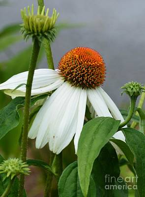 Photograph - Echinacea 16-03 by Maria Urso