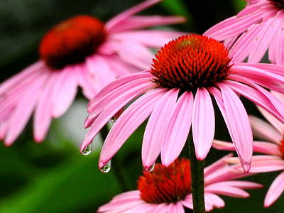 Photograph - Echinacea  by Betty-Anne McDonald