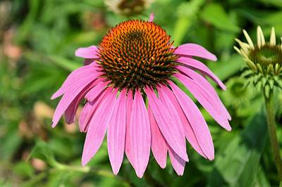 Photograph - Echinacea by Bonfire Photography