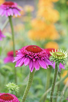 Photograph - Echinacea Catharina Red  by Tim Gainey