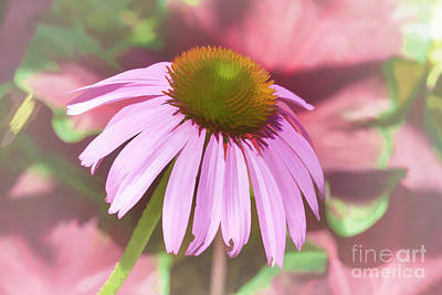 Photograph - Echinacea by Diane Macdonald