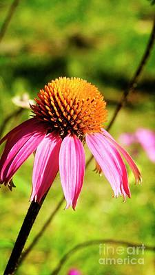 Photograph - Echinacea Flower N1174 by Ella Kaye Dickey