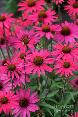 Photograph - Echinacea Glowing Dream Flowers  by Tim Gainey