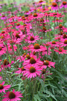 Photograph - Echinacea Glowing Dream by Tim Gainey
