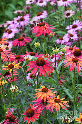 Photograph - Echinacea Hot Summer Flowers by Tim Gainey