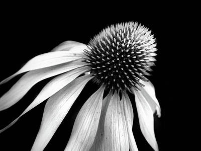 Photograph - Echinacea In Black And White by Lilia D