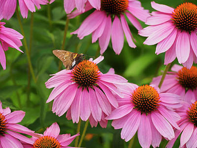 Photograph - Echinacea In Bloom by Marianne Campolongo