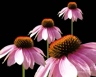 Echinacea In Half  Art Print by Cathy  Beharriell