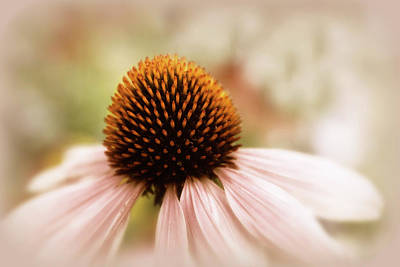 Photograph - Echinacea by Jessica Jenney