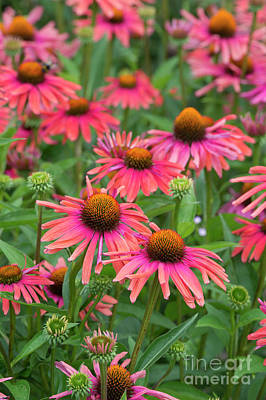 Photograph - Echinacea Mama Mia by Tim Gainey