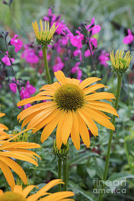 Photograph - Echinacea Now Cheesier by Tim Gainey
