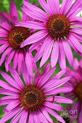 Echinacea Purpurea Rubinstern Flowers  Art Print