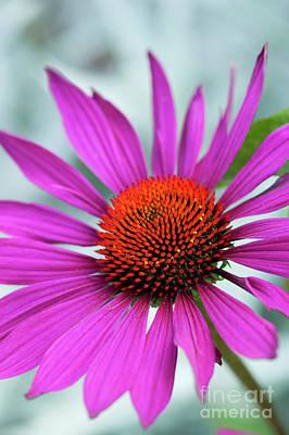 Photograph - Echinacea Rubinstern by Tim Gainey