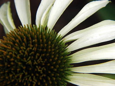 Echinacea Art Print by Priscilla Richardson