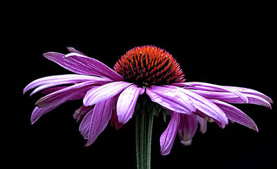 Echinacea Art Print by Sheldon Bilsker