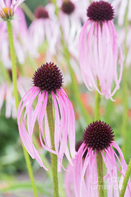 Photograph - Echinacea Simulata Flowers by Tim Gainey
