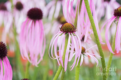 Photograph - Echinacea Simulata by Tim Gainey