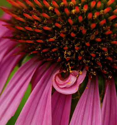 Photograph - Echinacea Spit Curl by Jean Noren