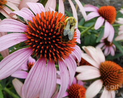 Echinacea Tea Time For Bee Art Print