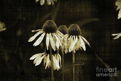 Echinacea Art Print by Terrie Taylor