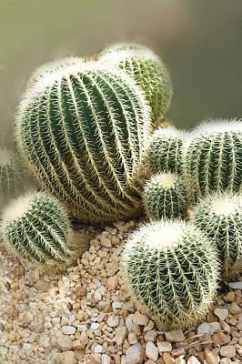 Echinocactus Grusonii  Art Print by Art Spectrum