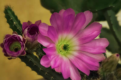 Photograph - Echinocereus Pentalophus - Lady Finger Cactus by Saija Lehtonen