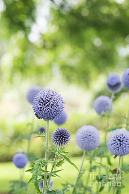 Photograph - Echinops Bannaticus Taplow Blue Flowers by Tim Gainey