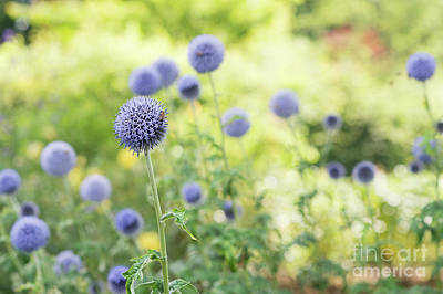 Photograph - Echinops Bannaticus Taplow Blue by Tim Gainey