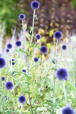 Photograph - Echinops Ritro Veitchs Blue by Tim Gainey
