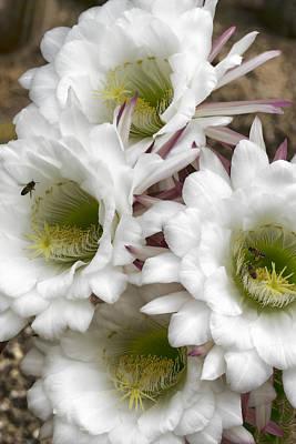 Photograph - Echinopsis Blossoms  by Saija Lehtonen