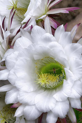 Photograph - Echinopsis Candicans Blossom And The Bee by Saija Lehtonen