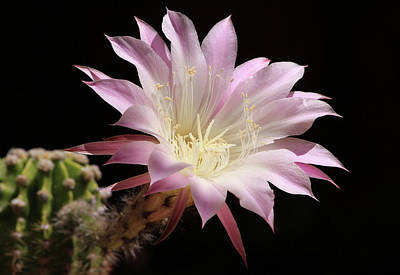 Photograph - Echinopsis  by Robin Street-Morris