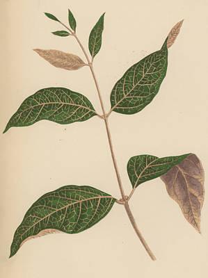 Botanical Drawing - Echites Nutans by English School