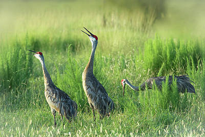 Photograph - Sandhill Cranes In A Misty Meadow  by Richard Goldman