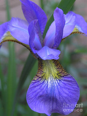 Photograph - Ec Iris by Mary Kobet