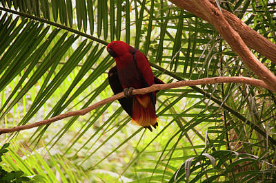 Eclectus Parrot Photograph - Eclectus Parrot 3 by Chris Flees