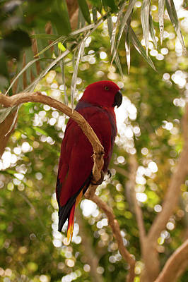 Eclectus Parrot Photograph - Eclectus Parrot 5 by Chris Flees