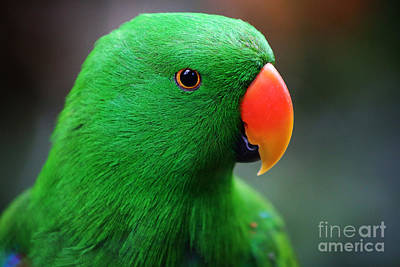 Painting - Eclectus Parrot  by Sue Harper