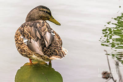 Photograph - Eclipse Mallard by Kate Brown
