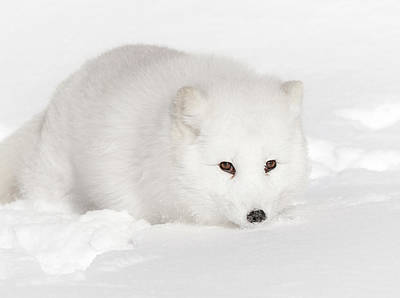 Photograph - Eclipse Of A White Arctic Fox by Athena Mckinzie