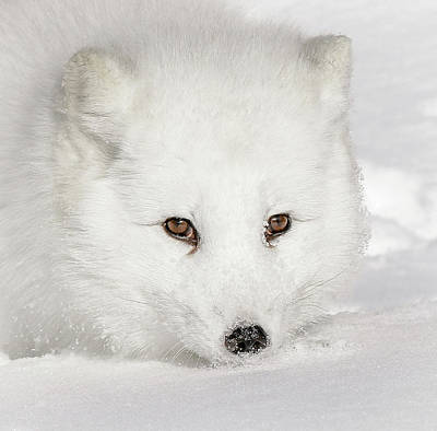 Photograph - Eclipse Of A White Arctic Fox II by Athena Mckinzie