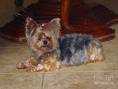 Photograph - Edie's Beautiful Yorkshire Terrier by Merton Allen