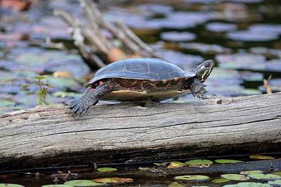 Photograph - Turtle Yoga- Midland Painted Turtle by David Porteus