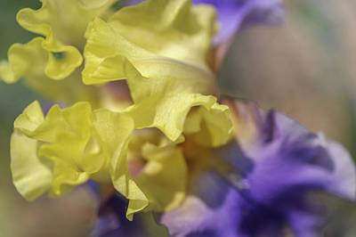 Photograph - Edith Wolford Macro. The Beauty Of Irises by Jenny Rainbow