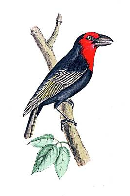 Painting - Edward Lear Black And Red Bird by Munir Alawi