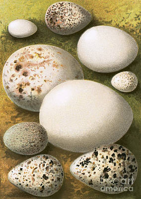 Sandpiper Painting - Eggs by English School